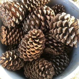 Ponderosa Pine Cones